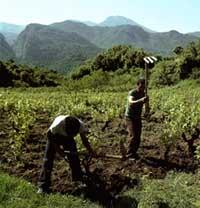 виноградные лозы на Корсике