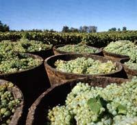 сбор винограда в Арманьяке
