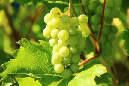 Белые сорта винограда в Эльзасе