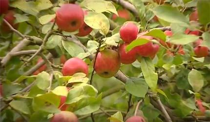 специальные сорта яблок для Кальвадоса